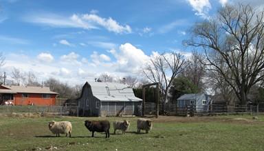 Sheep2 sm