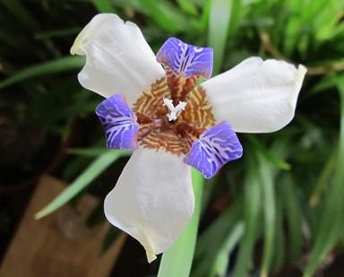 Iris sm