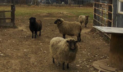 Winter sheep sm