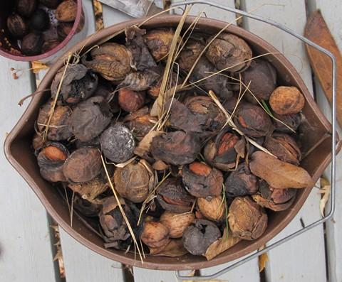 Walnut Harvest sm